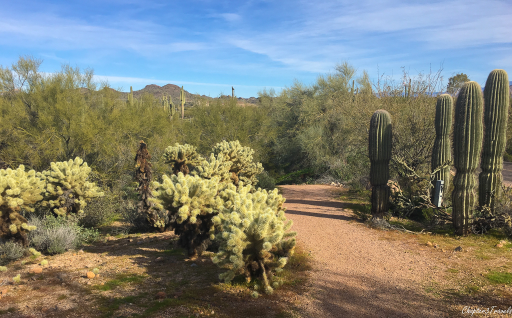 Cholla cactus growing next to a walking trail at Lost Dutchman State Park